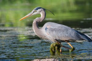 Great Blue Heron live all over the South Shore and are commonly seen in Duxbury.