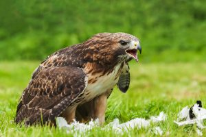 Red Tailed Hawk Eating Prey On Field